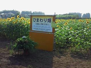 所沢 向日葵畑 うらとこ 浦和所沢