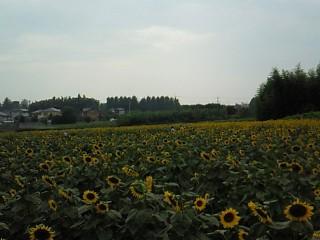 ヒマワリ畑 三ヶ島