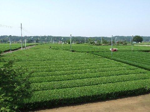入間 金子 狭山茶 茶畑