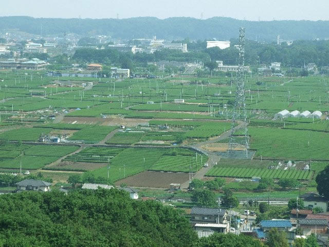 金子台 茶畑